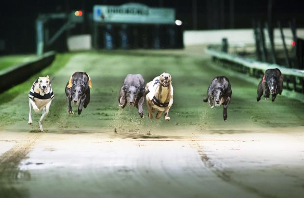 Royal Borough Observer: Greyhounds racing with their paws on the air